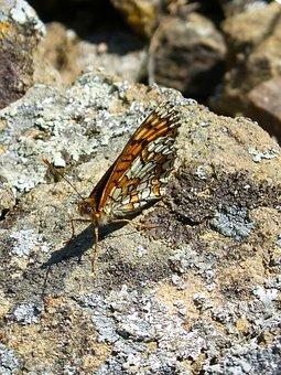 Melitaea Phoebe, Damero Knapweed, Butterfly, Rock