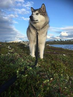 Alaskan Malamute, Sled Dog, Norway, Femundsmarka, Dog