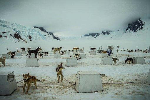 Sled Dogs, Alaska, Dog Sled, Sled, Dog, Sledding, Snow