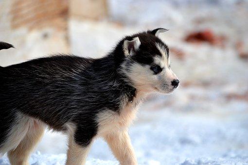 Huskies, Sled, Dogs, Siberian Huskies, Snow, Winter
