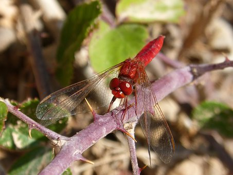 Dragonfly, Annulata Trithemis, Red Dragonfly