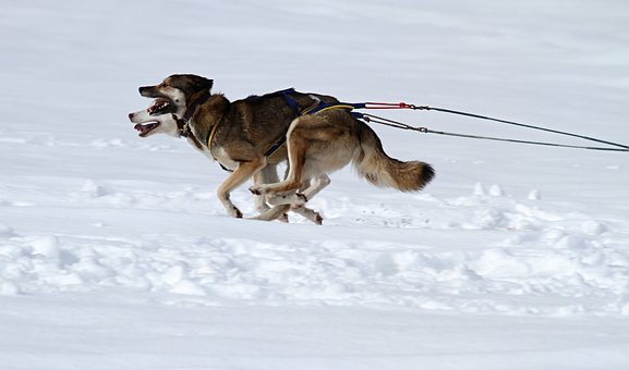 Husky, Dog, Animal, Face, Race, Dog Sled, Competition