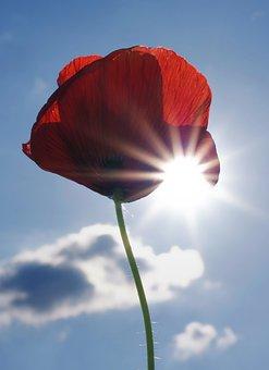 Poppy, Poppy Flower, Blossom, Bloom, Flower, Red, Sky