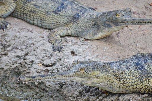 Gharial, Crocodile, Reptile, Ganges, Wild, Animals