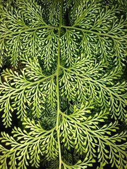 Green, Pinetree, Nature