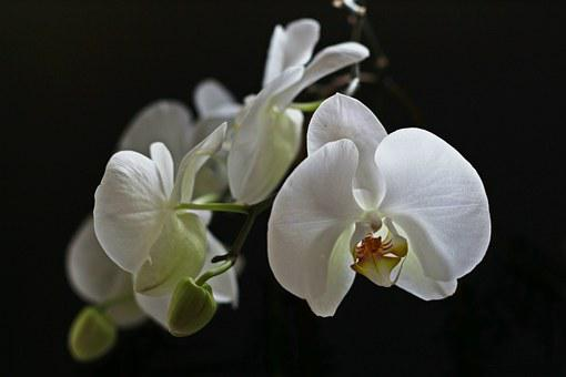 Orchid, White, Flower, Orchidaceae, Houseplant