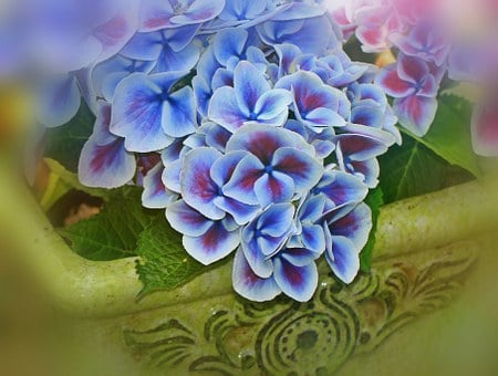 Hydrangea, Flowers, Inflorescence, Genus