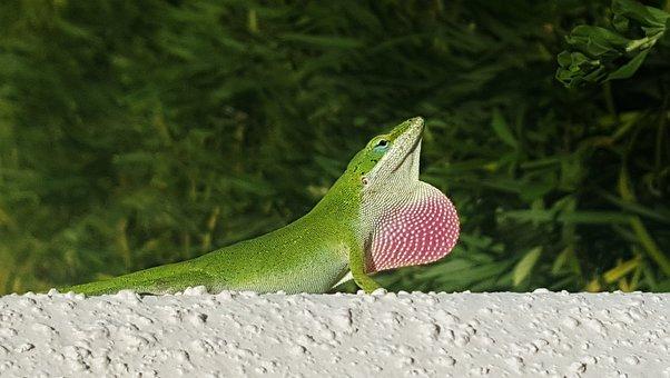 Anole, Green Anole, Lizard, Green Lizard, Reptile