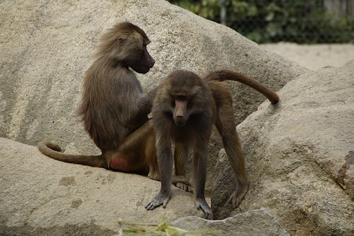 Ape, Zoo, Animal, Animal World, Two, Mammals, Rock