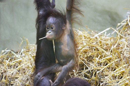 Orang Utan, Monkey Baby, Orangutan Baby, Ape