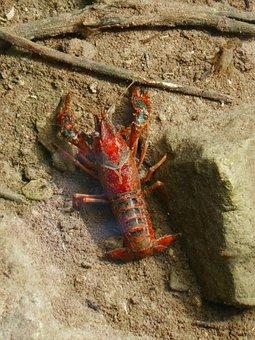 Crayfish, American Crab, Red, Priorat, Montsant