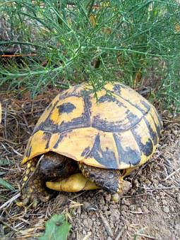 Turtle, Mediterranean Tortoise, Montsant, Priorat, Zoo
