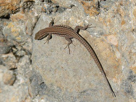 Lizard, Rock, Montsant, Natural Park, Sargantana