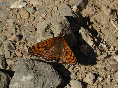 Damero Knapweed, Melita Phoebe, Orange Butterfly