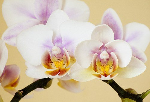 Orchid, Orchidaceae, Phaleonopsis, Orchid Like