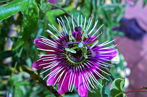 Passion Flower, Flower, Blossom, Bloom, Pistil, Exotic