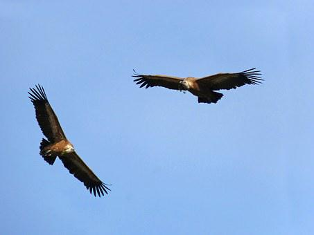 Vultures, Fly, Make The Nest, Pine Branches, Priorat