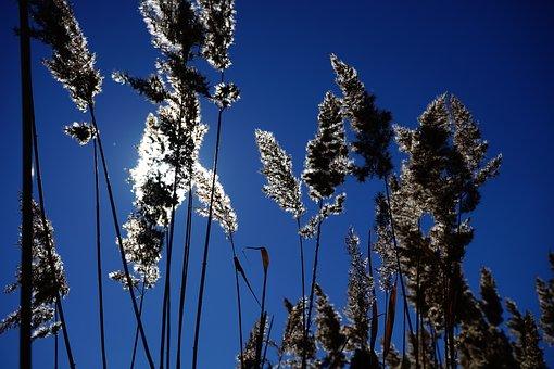 Reed, Phragmites Australis, Phragmites Communis Trin