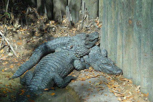 Alligators, Crocodile, Reptile, Dangerous, Nature