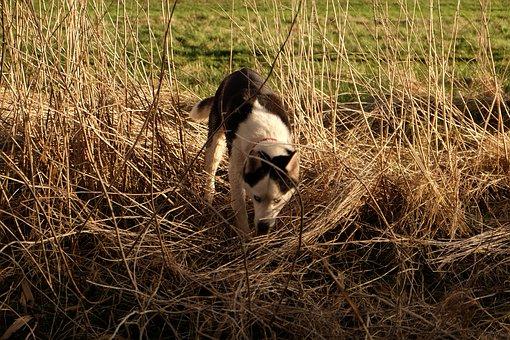 Siberian Husky, Husky, Dog, Animal, Sled Dog, Snow Dog