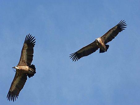 Vultures, Make The Nest, Fly, Sky, Priorat, Montsant