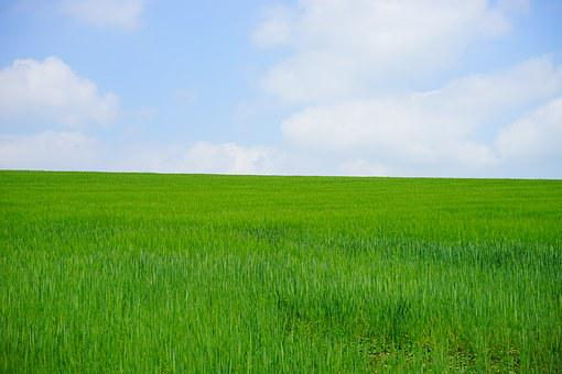 Wheat Field, Cornfield, Wheat, Wheat Spike, Spike