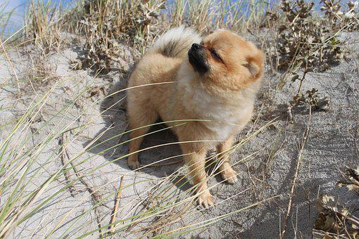 Pomeranian, Spitz Miniature, Dog House