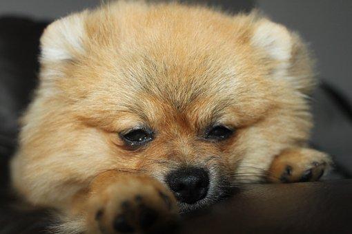 Pomeranian, Spitz Miniature, Dog, Dog House