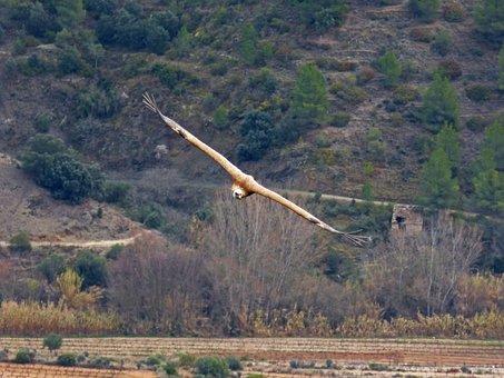 Vulture, Fly, Landscape, Priorat, Montsant, Flight