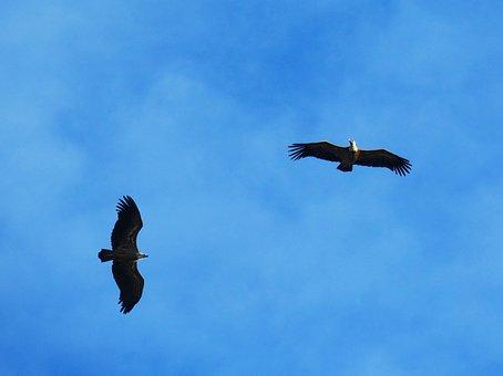 Vultures, Sky, Fly, Priorat, Montsant