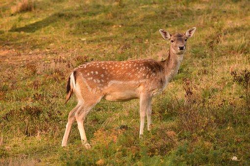 Roe Deer, Damkuh, Fallow Deer, Spotted, Watch, Curious