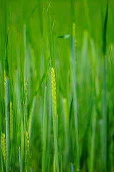Wheat Field, Wheat, Seed, Sowing, Shoots, Young, Fresh