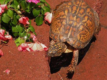 Box Turtle, Reptile, Amphibian, Wildlife, Shell, Animal