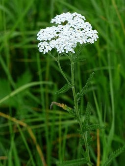 Yarrow, Blossom, Bloom, White, Flower, Pointed Flower
