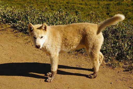 Dog, Young Dog, Puppy, Greenland Husky, Sled Dog