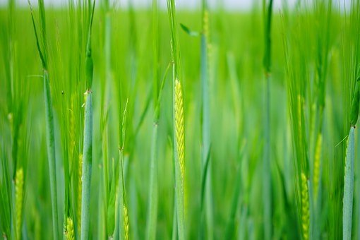 Wheat, Seed, Sowing, Shoots, Young, Fresh, Green