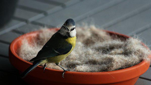 Spring, Blue Tit, Bird, Nature, Nesting Material