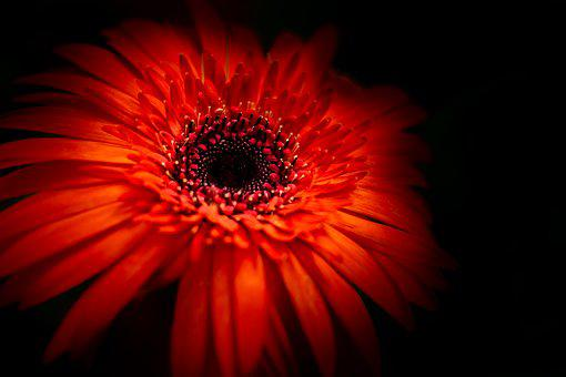 Flower, Daisy, Red, Closeup, Macro, Black Background