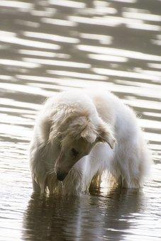 Dog, Borzoi, Water, Race, Pets, Animals, White
