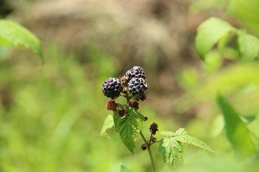 Raspberry, Black Raspberry, Plant, Bush, Fruit, Black