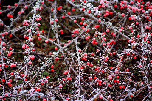 Cotoneaster, Bush, Winter, January, Red, Beads, Shrubs