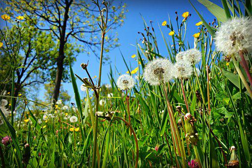 Dandelion, Puff Ball, Plant, Flower, Grass, Vegetation