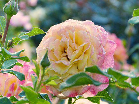 Rose, Blossom, Bloom, Petals, Dew, Water, Drop Of Water