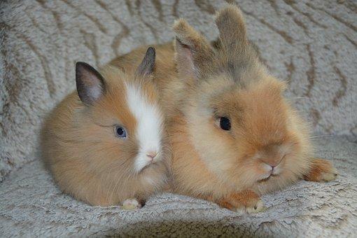 Rabbits, Dwarf Rabbits, Male Rabbit, Cute, Animals