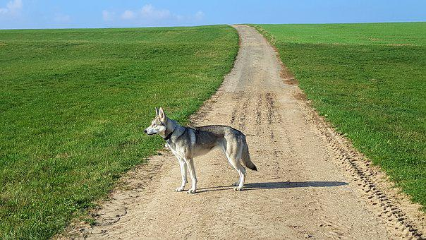 Wolf Dog, Summer Walk, Landscape, Green, Nature, Field