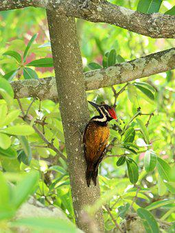 Kerala, India, Bird, Avian, Black, White, Orange, Flame