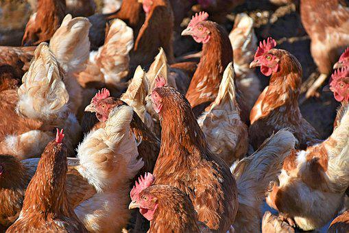 Chickens, Chickens Droves, Poultry, Free Range, Bird