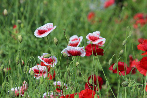 Mack, Red Poppy, Plant, Flower, Bloom, Red, Green