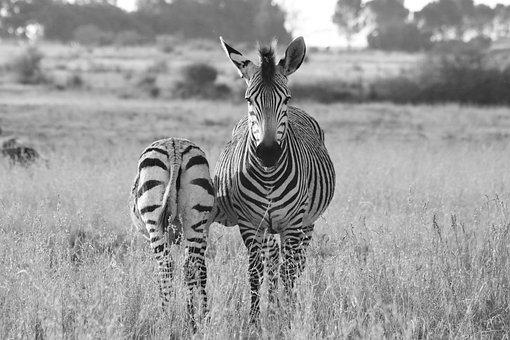 Zebra, Hartmann's, Mother, Child, Baby, Zebra Baby