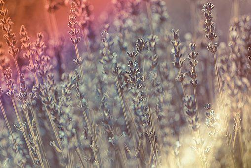 Sun, Lavender, Flare, Bloom, Blossom, Countryside, Herb